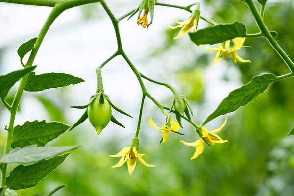 Бор нужен для хорошего цветения, если цветки опадают – это говорит об его недостатке
