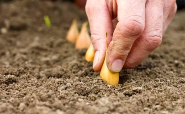 Очень важно, чтобы высаженный лук успел до наступления холодов опустить корни, но нельзя допускать образования ростков