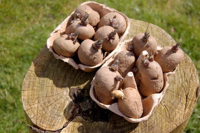 Правильно подготовленный картофель дает урожай на 30% больше, чем неподготовленный к посадке