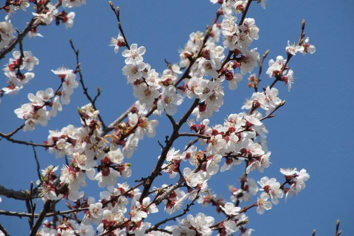 Не рекомендуется размещать абрикосовые насаждения на тяжелых по механическому составу почвах и плохо прогреваемых солнцем или переувлажненных грунтах