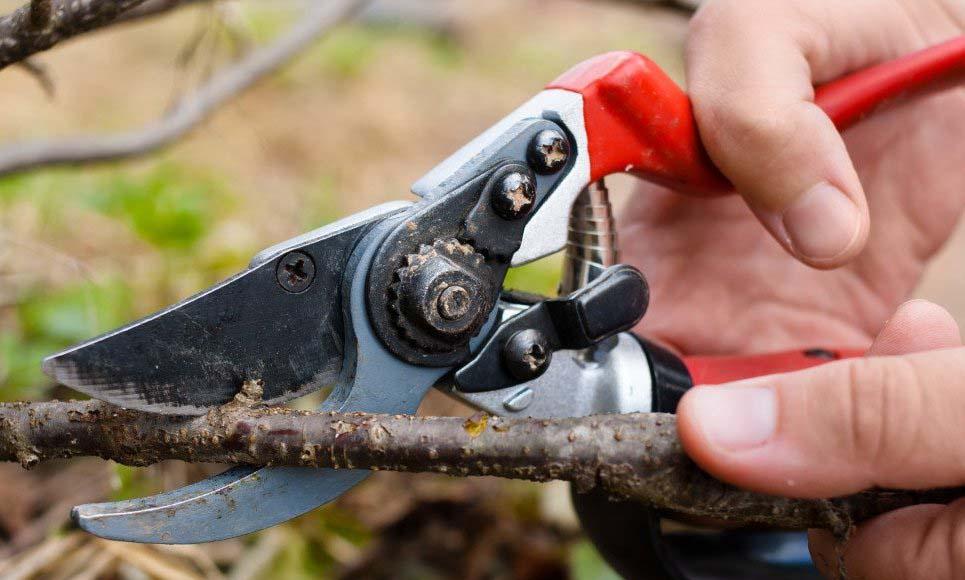 Правильно выполненный срез обязательно должен располагаться над хорошо развитой и абсолютно здоровой вегетативной почкой, что гарантирует получение качественно обрезанного побега