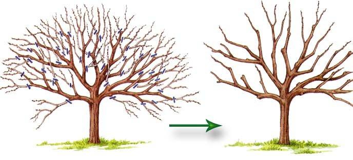 Омолаживающая обрезка позволяет старым деревьям обновиться, увеличить рост молодых плодоносящих побегов