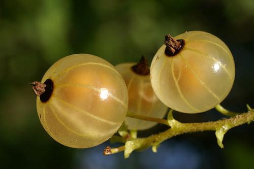 Белая смородина относится к листопадным кустарникам рода Смородина