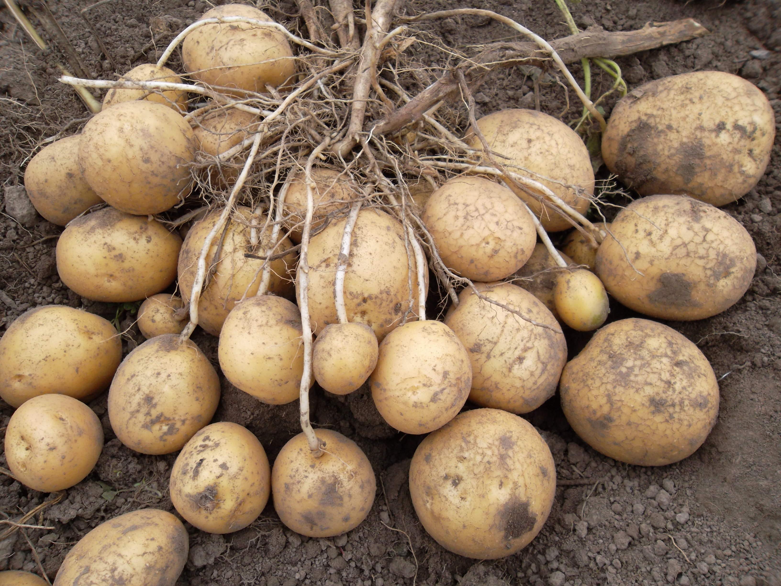 Семенной материал следует отбирать от наиболее урожайных и полностью здоровых кустов, которые успели сформировать в гнезде не менее десяти клубней