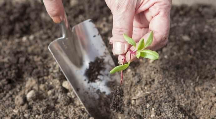 Высаживать рассаду свеклы необходимо примерно в середине мая