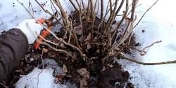 Особенно важно весной правильно проводить обрезку смородины