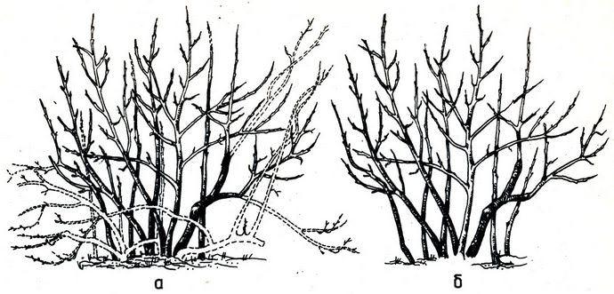 Основной упор следует делать на обрезку в весенний период ветвей внутри кроны, что обеспечит оптимальные показатели освещенности ягодного куста
