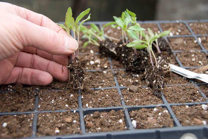 Пересадить молодые всходы томатов из небольших общих посадочных емкостей в отдельные горшочки следует через неделю после появления второго или третьего настоящего листочка на саженцах