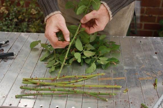 Наиболее часто используется черенкование полуодревесневшими побегами с отцветшей розы