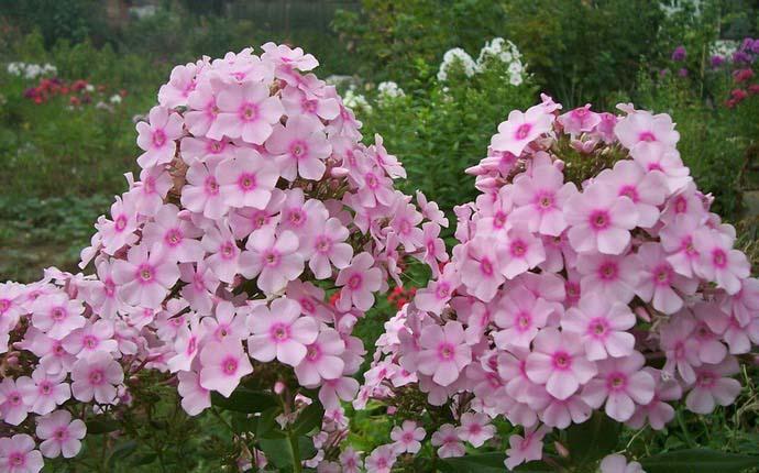 Практически все флоксы являются многолетними цветущими растениями
