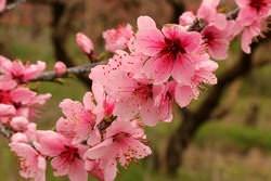 Персик является растением светолюбивым и теплолюбивым