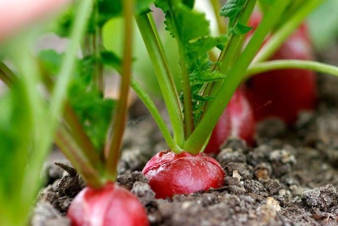 Выращивание редиса возможно с апреля по сентябрь