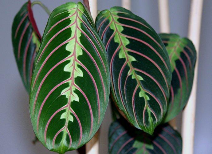 Маранта трехцветная обладает относительно небольшими овальными листьями, которые имеют очень необычное окрашивание