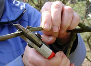 Обрезка груши осуществляется с целью обеспечения растения качественным уходом