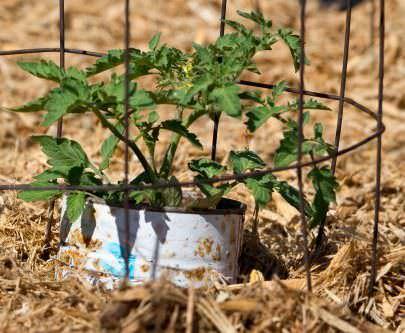 Грамотное мульчирование томатов в теплице облегчает уход за огородной культурой
