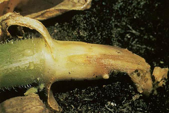 При фузариозном увядании поражается корень, а затем желтеют листья и стебель