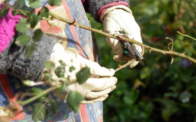 На протяжении всего лета необходимо своевременно осуществлять удаление всех увядших цветков, что позволит розовому кусту выглядеть опрятно и очень ухоженно