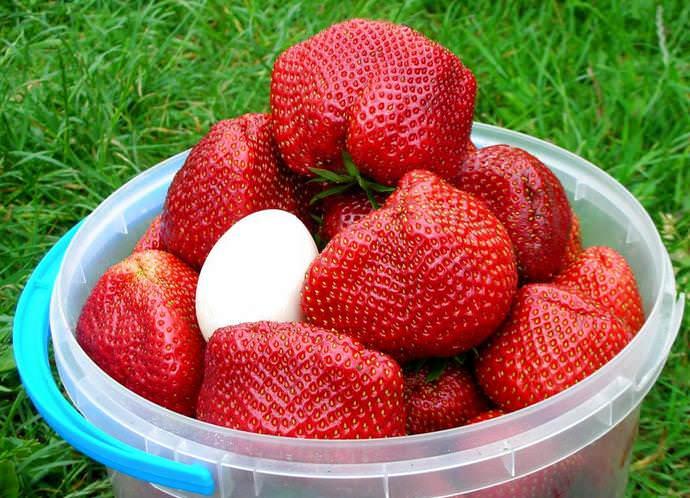 Собранный урожай сорта «Чамора Туруси» обладает достаточной транспортабельностью, что обусловлено высокими показателями плотности и упругости