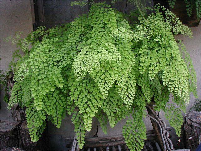 Адиантум – крайне неприхотливое растение, которое может не перенести избытка питательных веществ в грунте