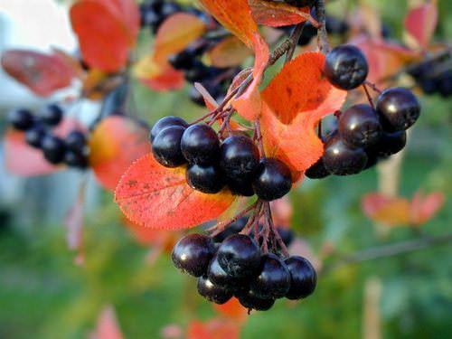Черноплодная рябина является хорошо известным отечественным садоводам плодовым деревом