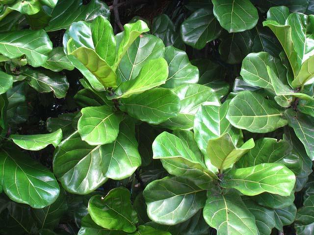 Выращивание лировидного фикуса в домашних условиях популярно благодаря необычным и красивым листьям