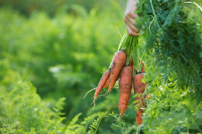 Убирать урожай моркови нужно своевременно, что позволит хранить выкопанную овощную культуру длительное время без потерь