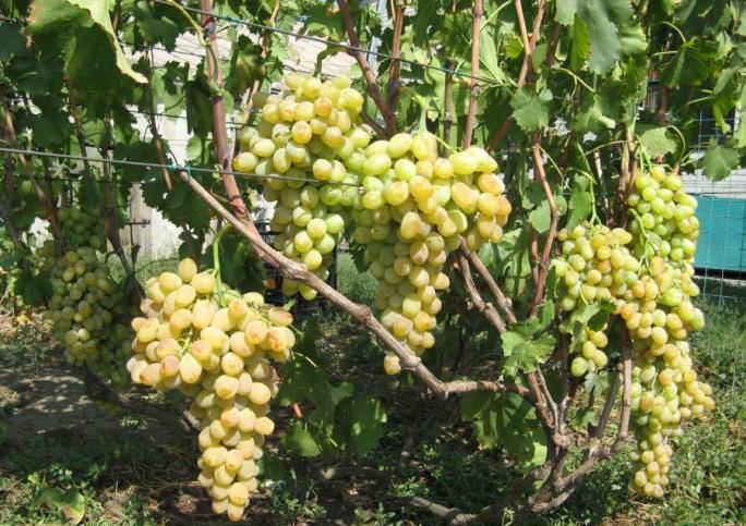 Виноград «Валентина» имеет достаточно сильнорослые кусты, которые характеризуются наличием широко разрастающейся лозы