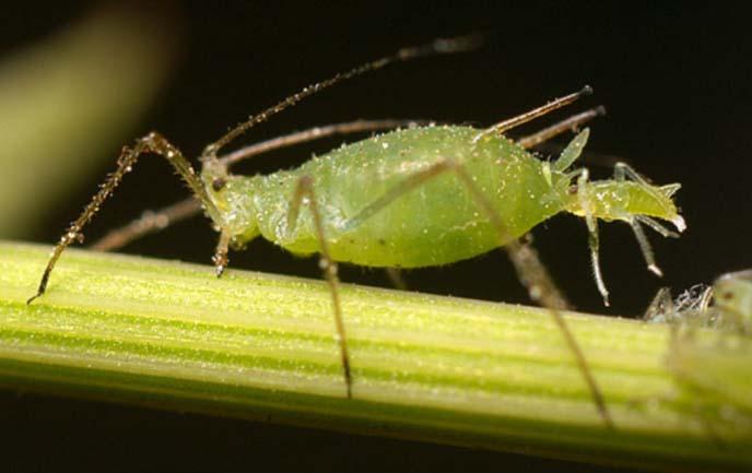 Тля отнесена к отряду полужесткокрылых насекомых-вредителей, размер которых не превышаетпять миллиметров