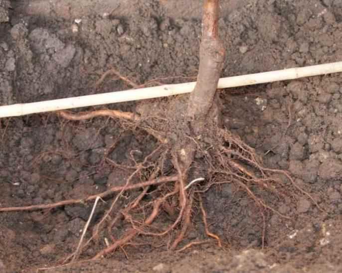 Саженцы необходимо опустить в яму так, чтобы корневая часть шейки возвышалась примерно на 5 сантиметров над поверхностью грунта