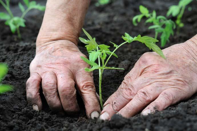 Посадка помидорной рассады на гряды открытого грунта осуществляется в мае-июне