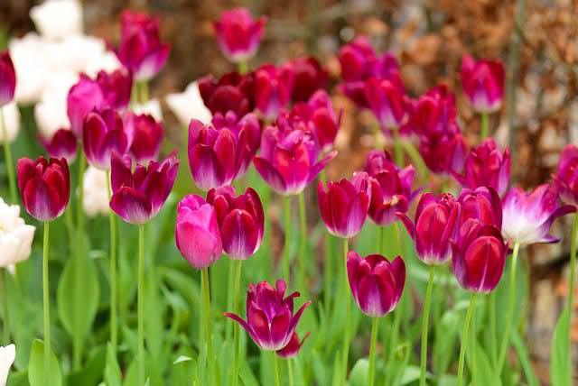 Для выгонки тюльпанов в комнатных условиях более надёжно использовать растения из третьего класса — «Триумф»