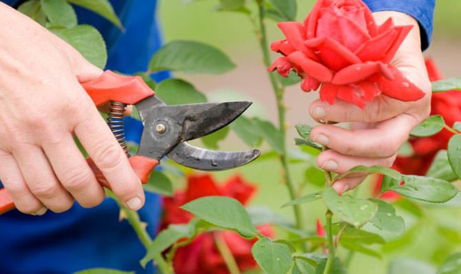 Для срезки используется только хорошо заточенный и чистый секатор или нож