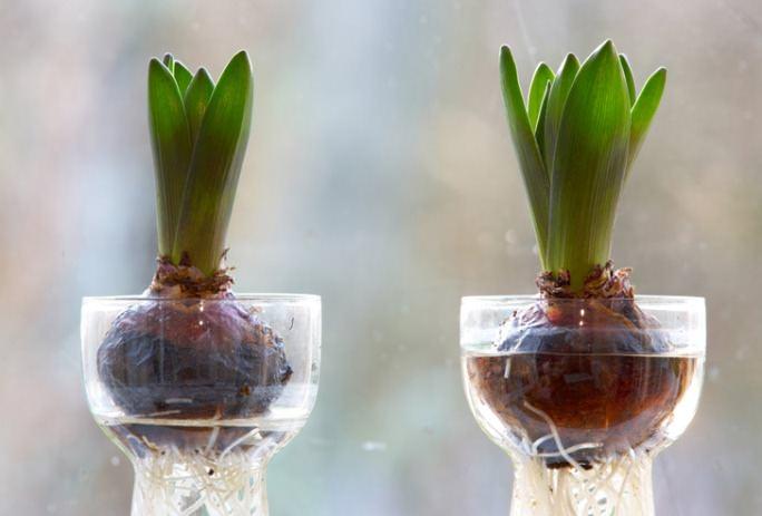 Наличие относительно невысокой потребности в освещённости позволяет тюльпанам вырасти без наличия естественного солнечного света