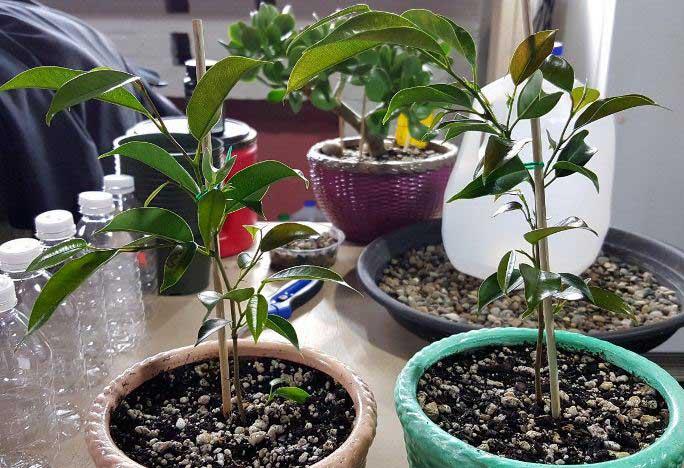 Фикус Бенджамина необходимо выращивать в вазонах, снабженных дренажными отверстиями