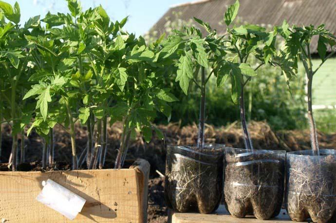 Хороший результат дают еженедельные внекорневые подкормки томатной рассады, что позволяет получить очень крепкие и устойчивые к негативным внешним факторам растения