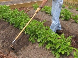 Окучивание картофеля относится к важным агротехническим приемам