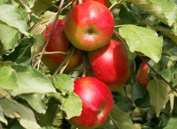 Сортовые показатели яблони «Серебряное копытце» позволяют отнести ее к категории летних