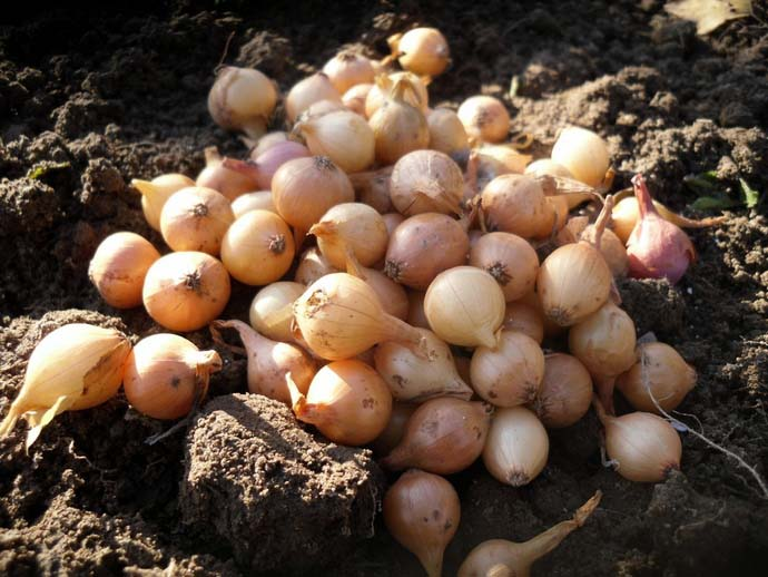 Сажать специально предназначенные для подзимних посевов сорта лука в поздний осенний период можно