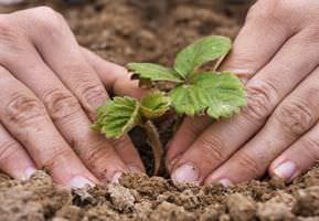 Правильная посадка садовой земляники в осеннее время очень удобна для огородников