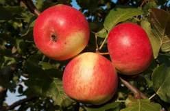 Яблоня «Серебряное копытце» относится к летним сортам