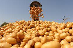 Как повысить урожайность картофеля с 1 га, вопрос далеко не праздный