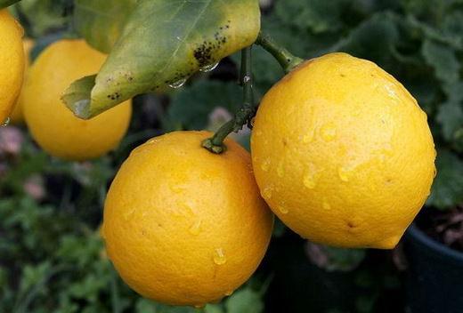 В лимоне содержатся не только витамины, но и многие микроэлементы