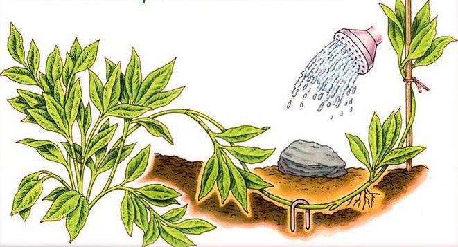 Цветоводами-любителями, обладающими достаточным опытом и навыками, практикуется такой оригинальный способ размножения и обновления декоративной культуры, как прикапывание верхушечного побега взрослого растения