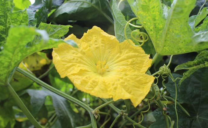Период цветения люффы культурной начинается в июле и продолжается до последних дней сентября