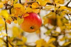 Посадить яблоню осенью старается большинство садоводов