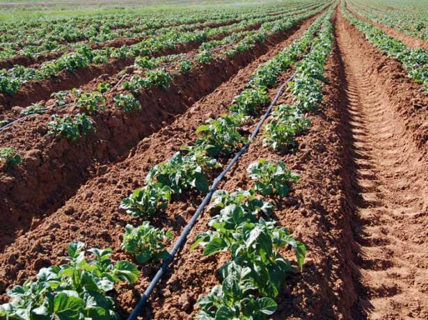Выращивание картофеля по Миттлайдеру может осуществляться в абсолютно любых климатических зонах и подходит для всех типов грунта