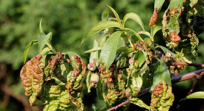 Отсутствие грамотного лечения курчавости весной и осенью способствует нанесению значительного ущерба персику