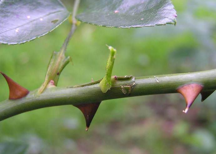Достаточно часто для размножения розы садовой используется такой прием, как окулировка