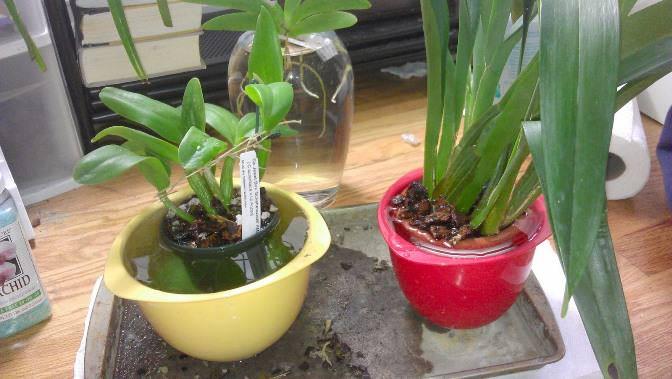 Цветочный горшок с орхидеей следует опустить в тазик, наполненный чистой водой