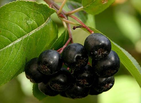 Обыкновенная и черноплодная рябина имеют мало общего